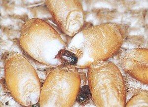 Khaprabiller i hvete