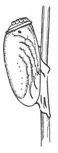 Kjennetegn ved kroppslus - Veggedyr Stikk og kloee - Side 23