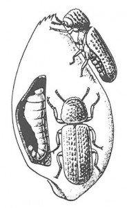 Kornborebille med larve i kjerne - Skadedyr I Naeringsmidler - Side 97