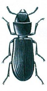 Korngnageren, Tenebroides mauretanicus