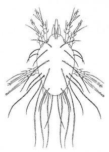 Kornmiden, Lepidoglyphus destructor