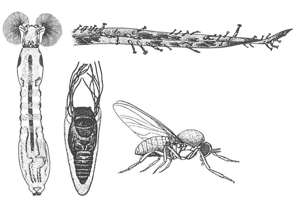 Kvegmygg, larve, puppe og voksen - Veggedyr Stikk og kloee - Side 68
