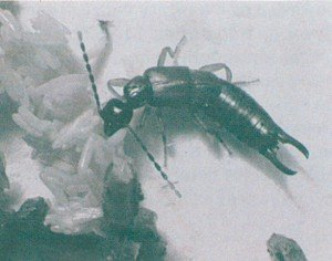 Lite saksedyr, Labia minor, spiser flueegg