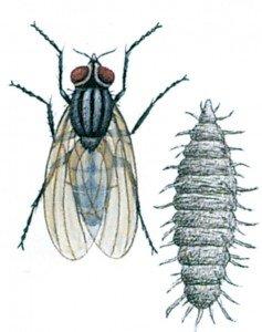 Liten husflue, Fanniacanicularis