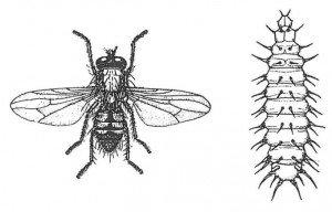 Liten husflue, voksen og larve
