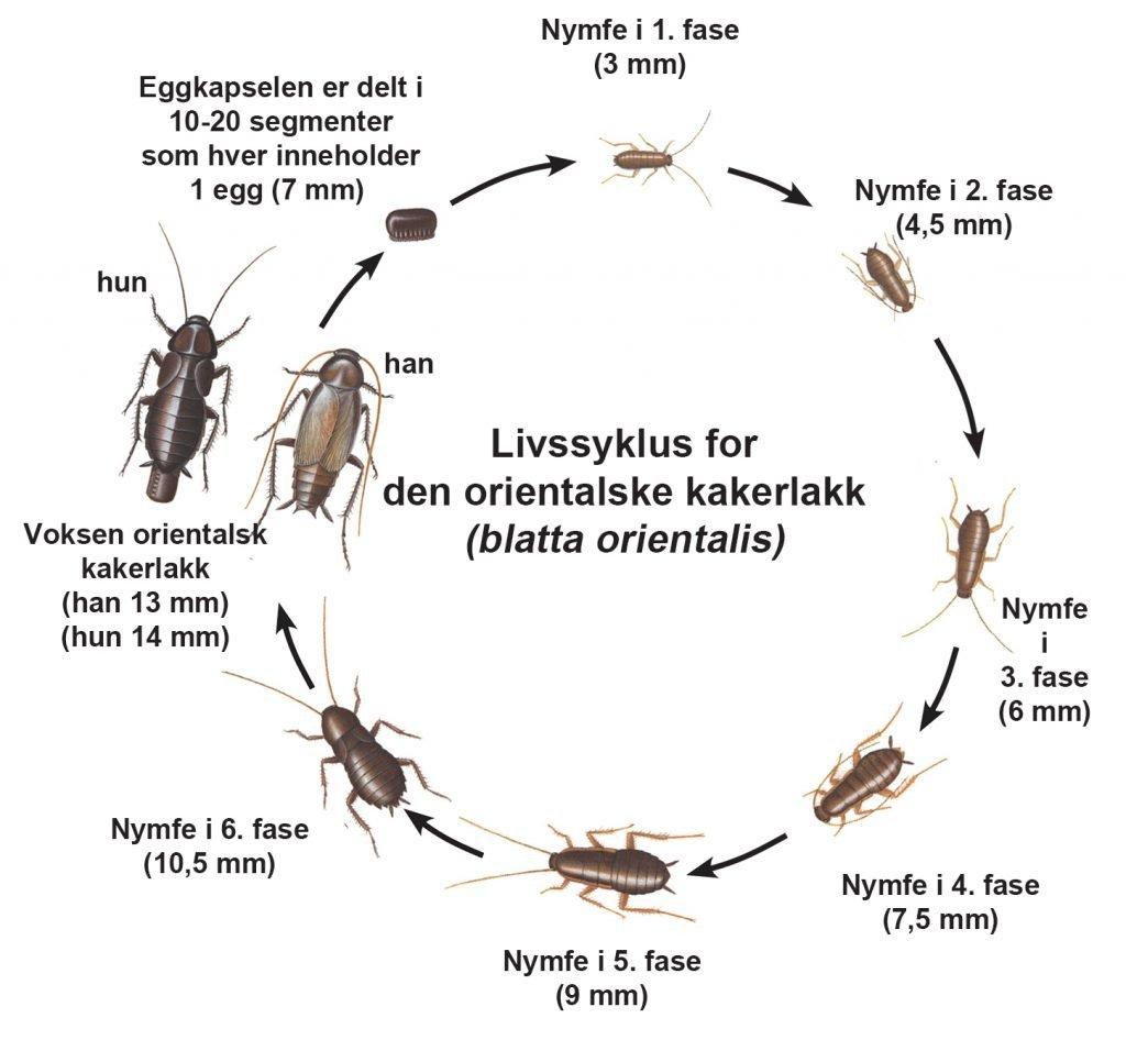 Livssyklus for Orientalsk kakerlakk - Skadedyr I Naeringsmidler - Side 68