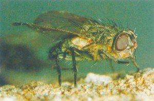Loftsfluer gjenkjennes på de gyldne hår