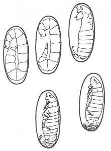 Loppelarvene utvikler seg til en puppe inne i sin kokong. (etter Humphries)