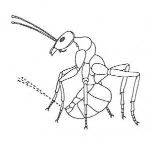 Maurer som sprøyter mauresyre. (etter Maschwitz)