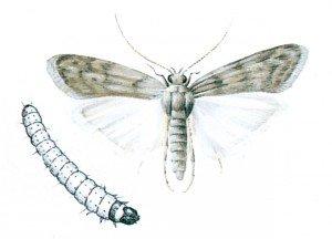 Melmøll og larve