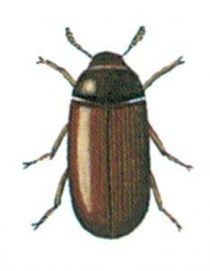 Muggbiller, Clavicornia spp