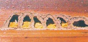 Murerbieceller med pollen og larver