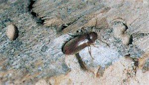 Myk borebille angriper kun nåletre