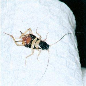 Nymfe av den brunbeltete kakerlakk