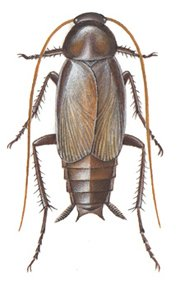 Orientalsk-hannkakerlakk