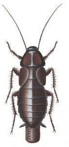 Orientalsk-hunnkakerlakk