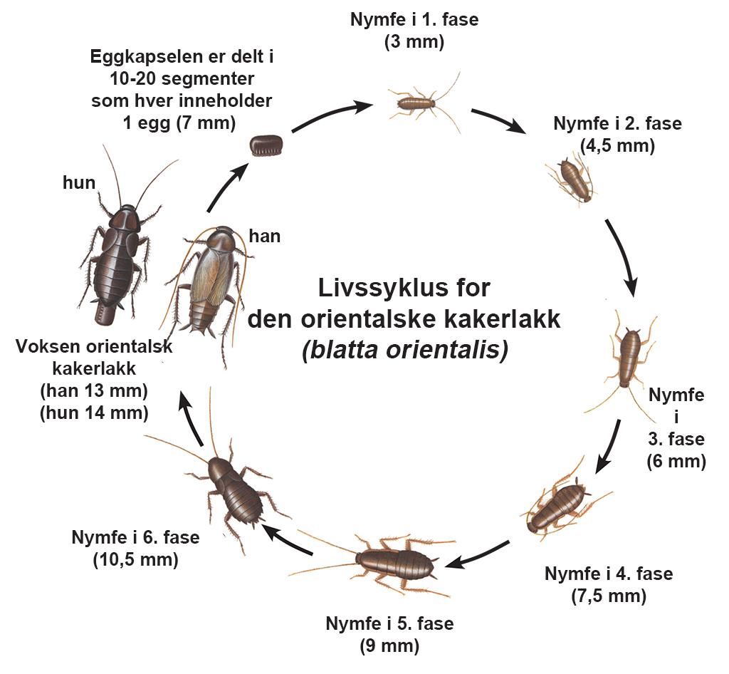 Livssyklus for den orientalske kakerlakk (blatta orientalis)