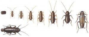 Orientalsk kakerlakk, utvikling