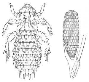 Pelslusen Trimenopon jenningsi og egg - Veggedyr Stikk og kloee - Side 165