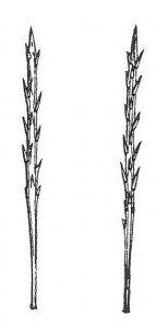 Pinjeprosesjonsspinnerens larve har tornete hår som er hule og som inneholder maursyre. (etter Martini)
