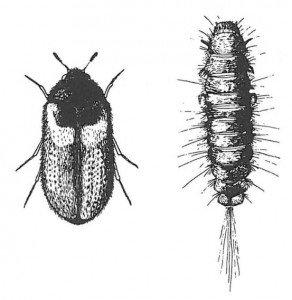 Reesa vespulae voksen og larve - Skadedyr I Naeringsmidler - Side 109