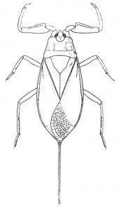 skorpiontege