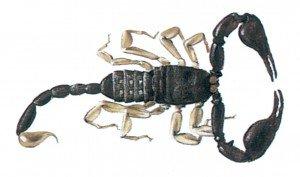 Skorpion - Skadedyr i hus og hytte - Side 38