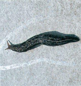Slimspor etter stor kjellersnegle på vegg
