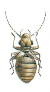 Støvlus, Psocoptera - Skadedyr I Naeringsmidler - Side 74