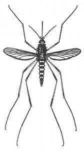 Stikkemygg, arten Aedes vexans. (etter Peus)