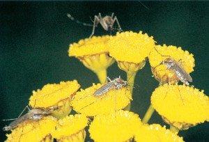 Stikkemygg suger nektar