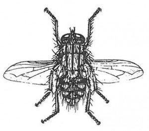 Stor kjøttflue
