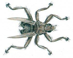 Svaleluseflue