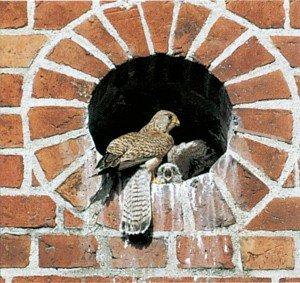 Tårnfalk mater sine unger