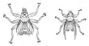 Tårnseilerens lusflue og svalelusflue - Veggedyr Stikk og kloee - Side 74