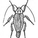 Tysk kakerlakk, hunn med eggkapsel.