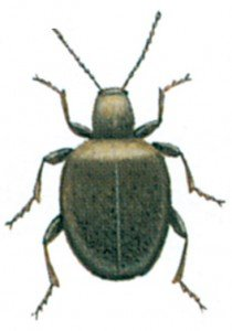 Tyvbille-Sphaericus-gibbioides