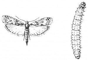 Melmøl, voksen og larve