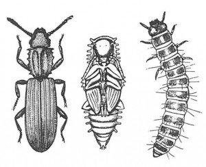 Voksen, puppe, larve fra sagtannet melbille