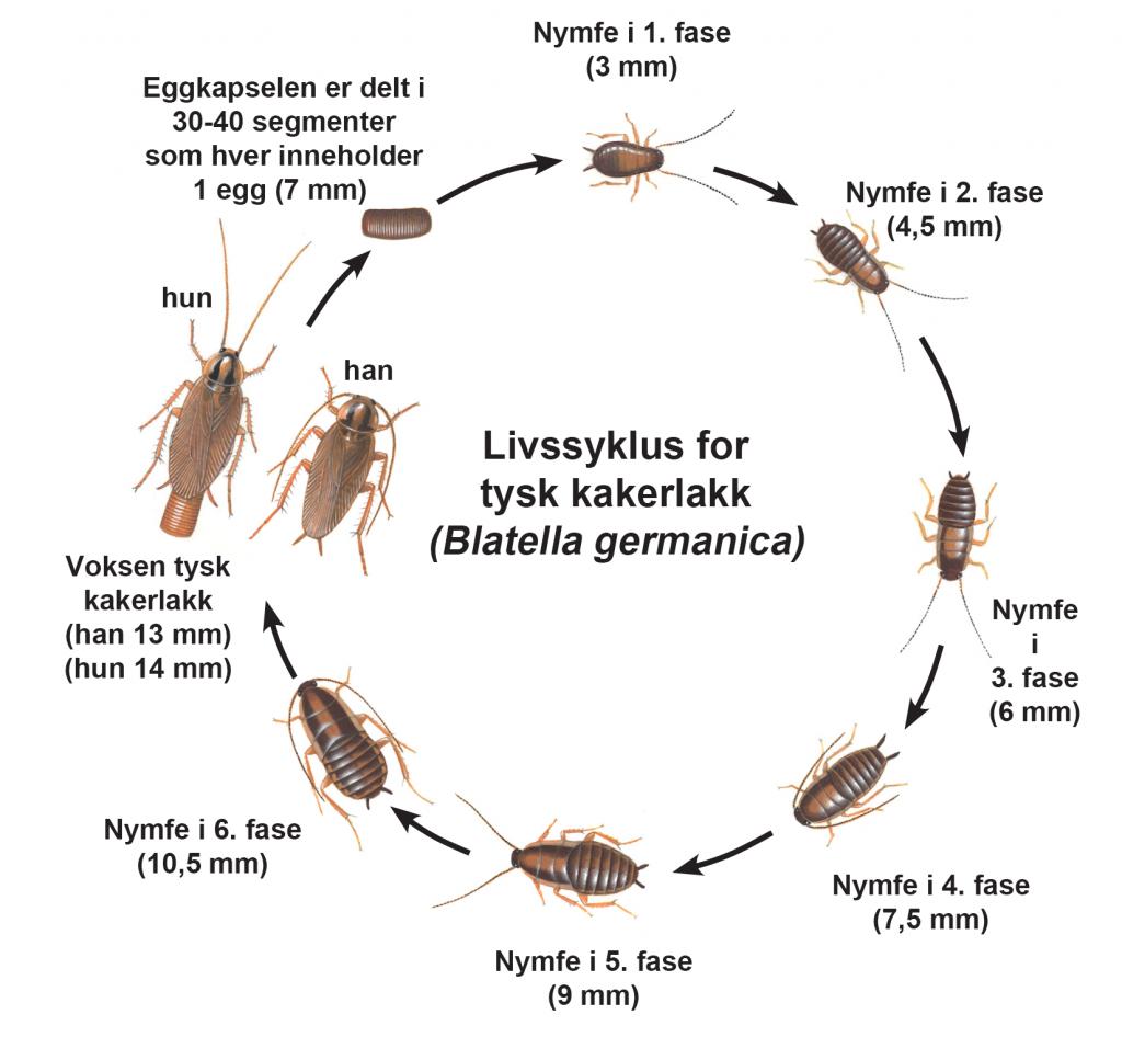 Livssyklus for tysk kakerlakk-vanlige-skadedyr-i-Norge