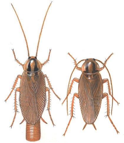 Voksen Tysk kakerlak, han og hun - Vanlige skadedyr i hus