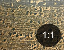 Borehull i tre fra australsk tyvbille - Skadedyr i hus og hytte - side 120
